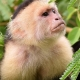Capuchin-Monkey-at-Manuel-Antonio-2