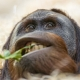 This young orangutan was lying and eating some plants