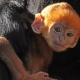 Orange Langur monkey holds on to mum