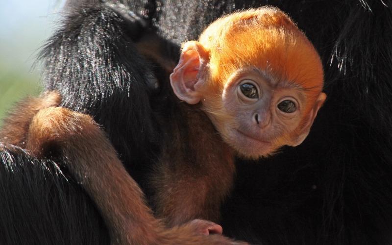 Orange Langur monkey holds on to mum