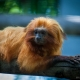 Golden-lion-tamarin-Monkey
