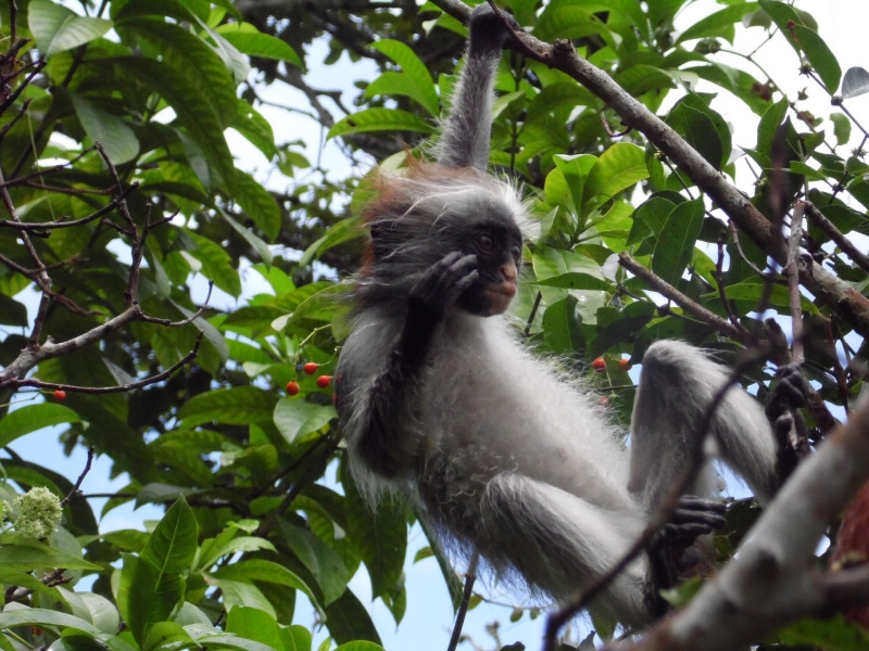 Colobus Monkey hanging high in a tree
