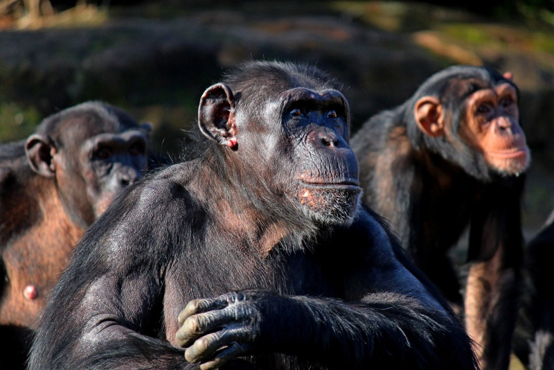 These chimps at Taronga Zoo were being thrown fruit
