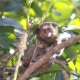 Black-ear-tufted-marmoset having fun in a tree-