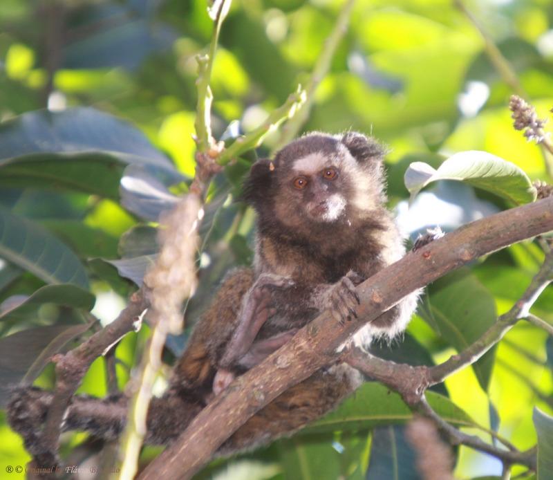 Black-ear-tufted-marmoset having fun in a tree-