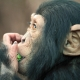 Chimpanzee Stuffing his face