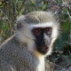 A very young Capuchin monkey