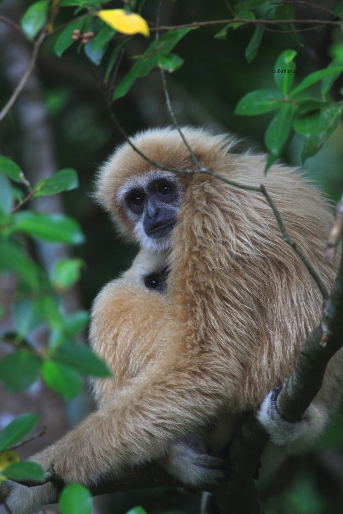 Two Gibbons snug in a tree