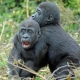 Two young Gorillas having a fun wrestle