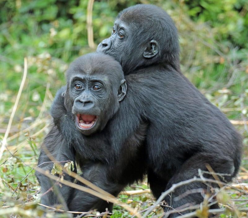Two young Gorillas having a fun wrestle