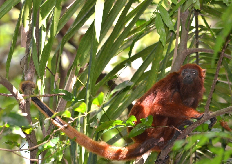 Red Howler Monkey high in the canopy
