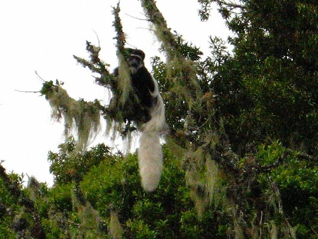 Colobus-Monkeys-at-Mandara-Hut-2