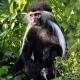 Male-Colobus-Monkey