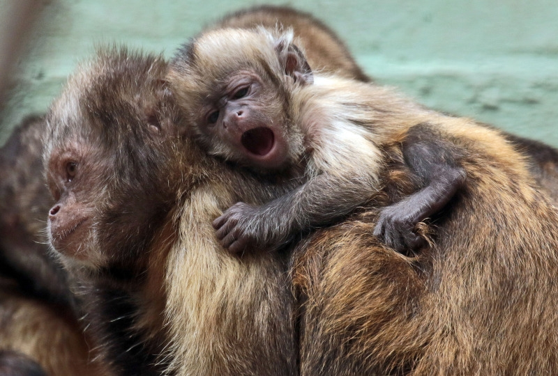 Monkey that is too tired to walk