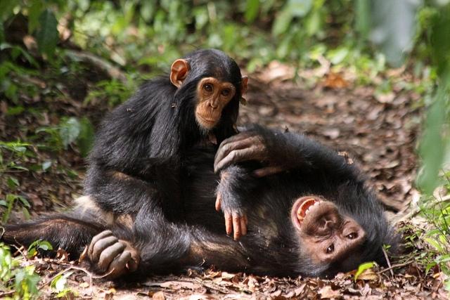 Fun-chimps