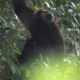 Simang Gibbon hides in a tree