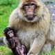 Look at my baby Macaque monkey