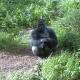 Sitting Silverback Gorilla in the UK