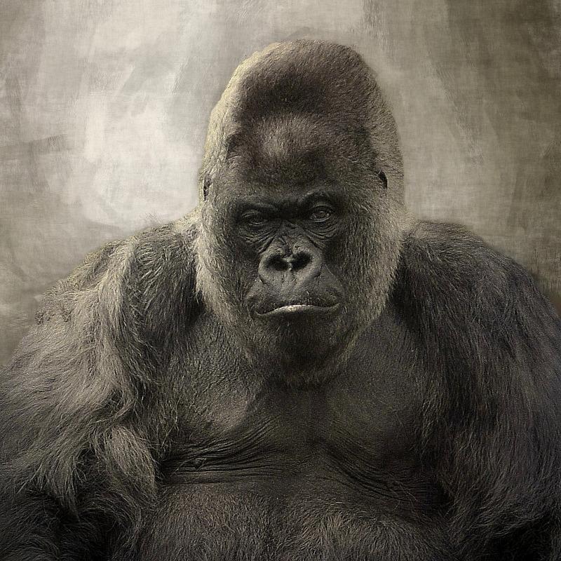 Grumpy old Gorilla portrait