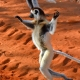 More Dancing Lemurs