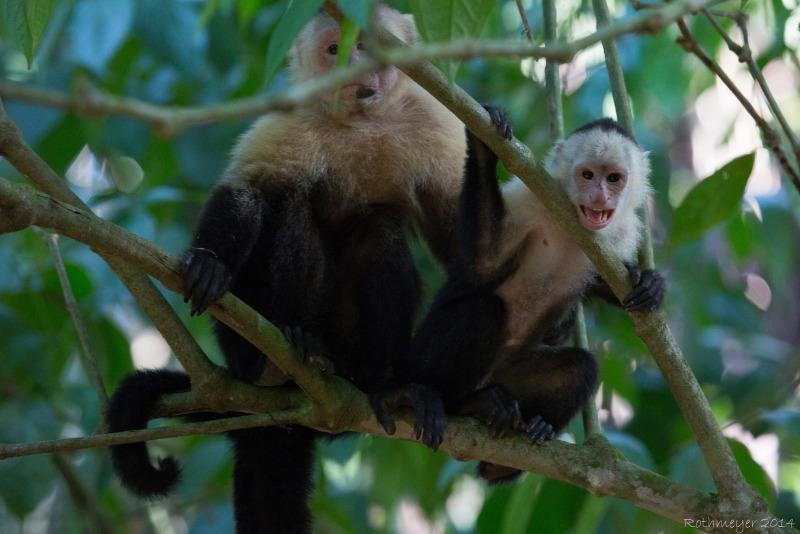 White-faced Capuchin at Hacienda Baru
