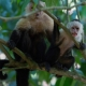 White-faced Capuchin at Hacienda Baru