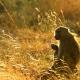 Baboon-at-dawn