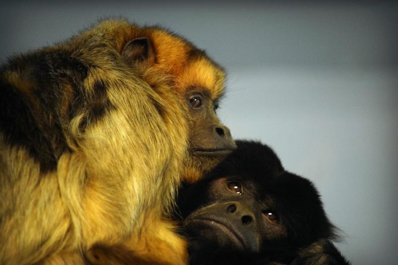 Howler monkeys hugging