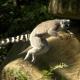 Ringtail-lemur