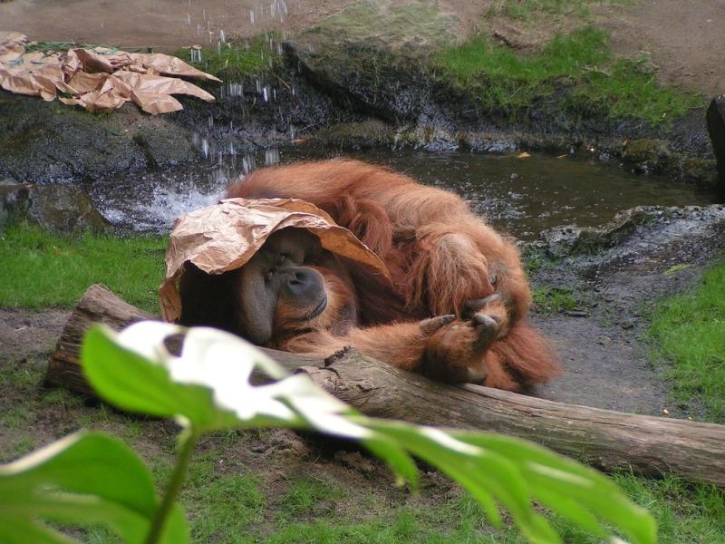 Orangutan sheltering from the rain