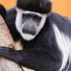 Portrait-of-a-colobus-1