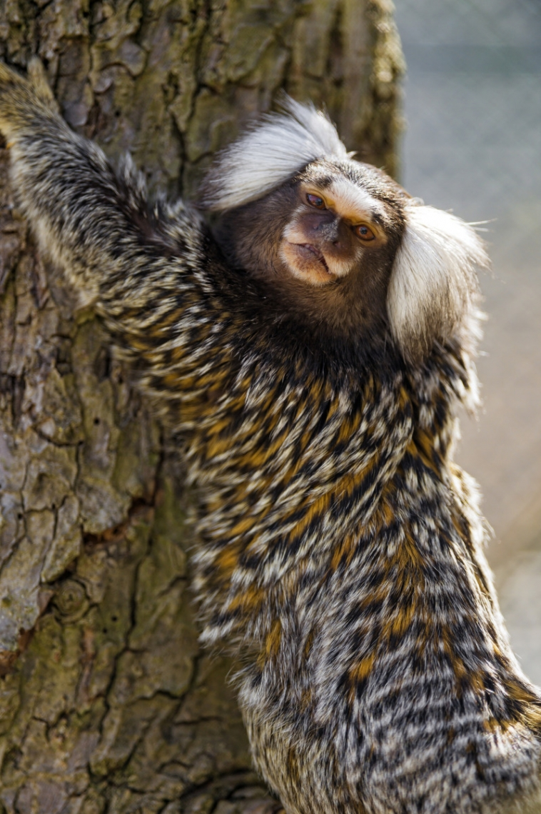 Marmoset clinging at the tree
