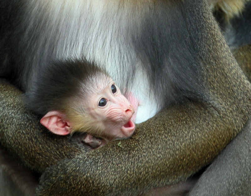 Baby Mandrill holds tight to his mum