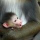 Baby Mandrill holds tight to his mum