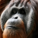 Portrait of a male orangutan taken in his house in the zoo of Basel