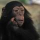 Thinking-chimp