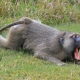 Male Olive Baboon with big yawn