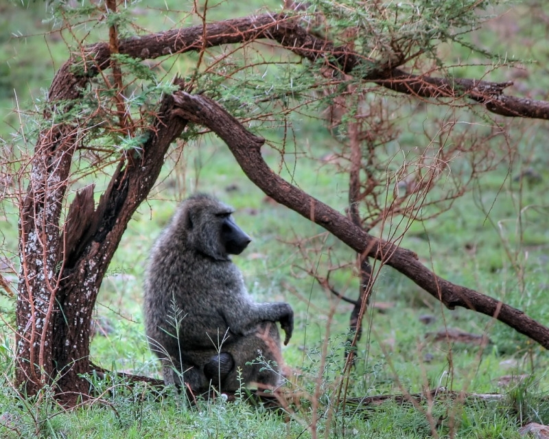 Baboon under a tree