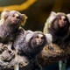 Three-marmosets
