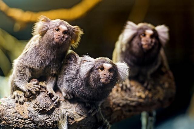 Three-marmosets