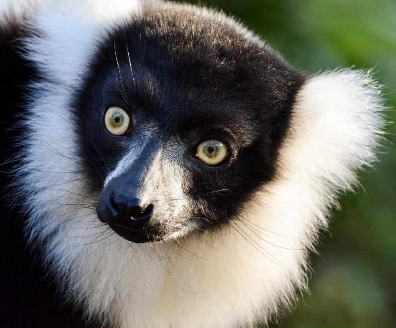 Black and White Ruffed Lemur in Duisburg