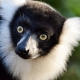 Black and White Ruffed Lemur in Duisburg
