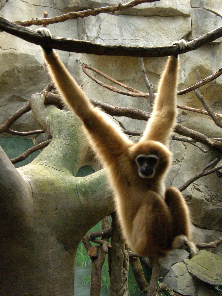 Swinging Spider monkey in Cologne