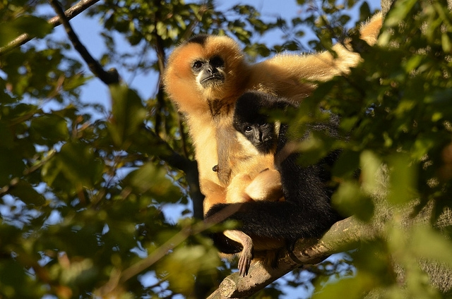 Happy-gibbon-family