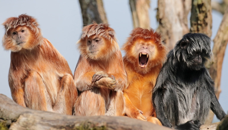 Amazing group of Langur monkeys
