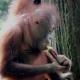 Orangutan eating sugar cane