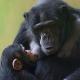 Baby-chimpanzee-suckling
