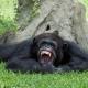 Miami Zoo Chimpanzee