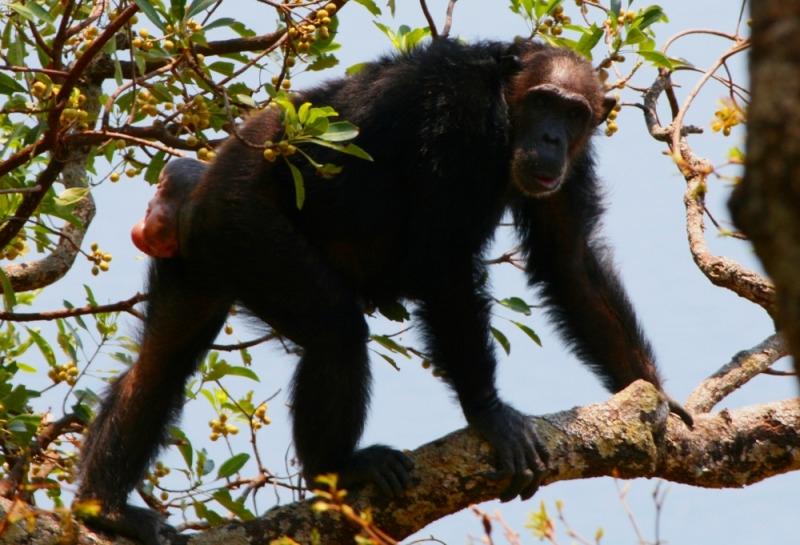 Female wild chimpanzee on heat