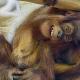 Funny-baby-orang-utan